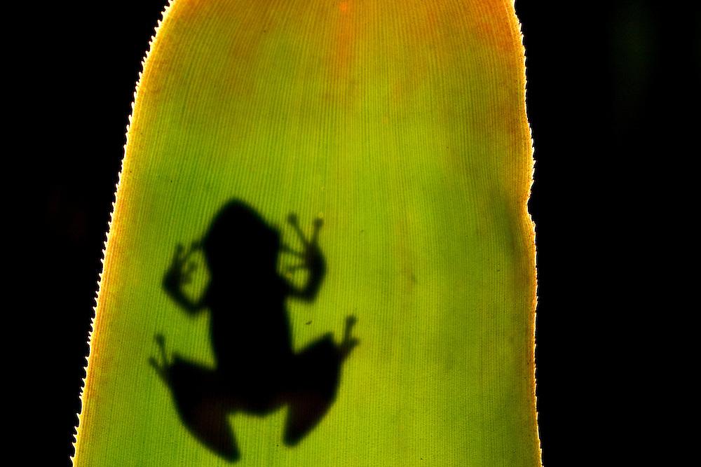 Porto Seguro_BA, Brasil...Na foto detalhe de uma perereca numa RPPN (Reserva Particular do Patrimonio Natural em Porto Seguro, Bahia...In this photo detail of frog in RPPN (Private Reserve of Natural Heritage)  in Porto Seguro, Bahia...Foto: JOAO MARCOS ROSA / NITRO
