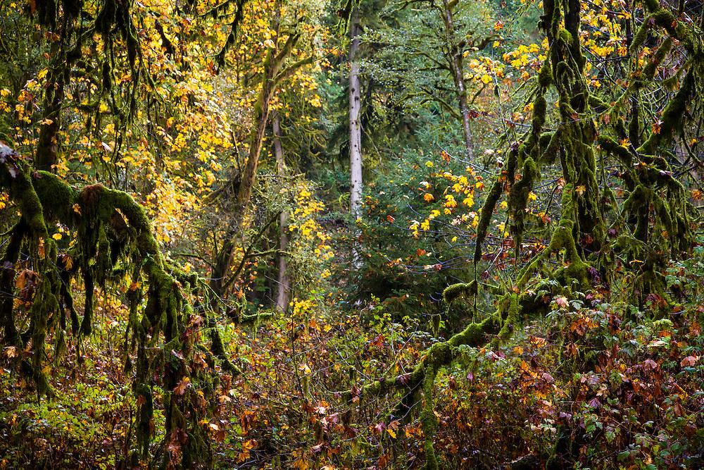 Mossy trees near Munson Falls, OR