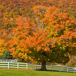 A maple tree in fall at Castle in the Clouds in Moltonborough, New Hampshire.