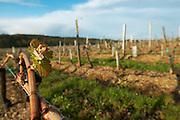 bud burst on the vine vineyard chateau pey la tour bordeaux france