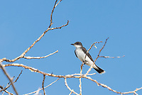 This strikingly beautiful member of the tyrant flycatcher bird family was seen protecting its territory and small family group of four individuals in a tree overlooking a pond in the Warm Springs State Wildlife Management Area near Anaconda, Montana. Eastern kingbirds are known for their aggression towards other birds and other animals and will often dive-bomb intruders, like this one did to me while getting this photograph.