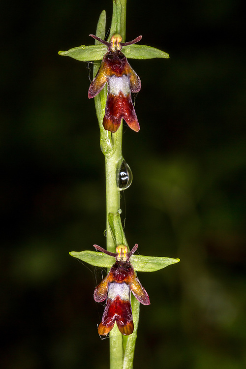 Fly Orchid, Kent, UK