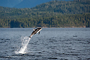 Pacific White-sided Dolphins, Lagenorhynchus obliquidens, jump near Johnstone Strait, British Columbia, Canada.