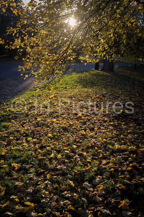 Fallen yellow autumn leaves in Dulwich Park, London borough of Southwark. The landscape is empty of people and the carpet of leaves drop mid-autumn in this south London public space. Dulwich Park is a 30.85-hectare park in the London Borough of Southwark, south London, England, opened in 1890 by Lord Rosebery, initially designed by Charles Barry (junior), later refined by Lt Col J. J. Sexby (who also designed Battersea, Ruskin and parts of Southwark Parks). In 2004–6, the park was restored to its original Victorian layout, following a grant from the Heritage Lottery Fund.