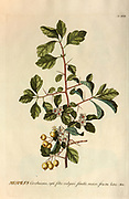 Coloured Copperplate engraving of a Mespilus germanica (medlar) from hortus nitidissimus by Christoph Jakob Trew (Nuremberg 1750-1792)