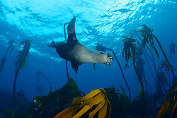 Arctocephalus pusillus, Suedafrikanicher Seebaer unterwasser zwischen Tang, South African fur seal diving underwater between seaweed, False Bay, Simons Town, Südafrika, Indischer Ocean, False bay, Simons Town, South Africa, Indian Ocean