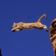 Mountain Lion or Cougar (Felis concolor) jumping a crevasse in the slot canyons of Arizona. Captive Animal