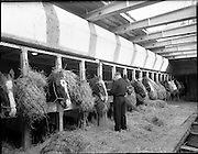 """The """"City of Waterford"""" sails from Dublin with a cargo of horses for export. The hold of the """"City of Waterford"""", with it's cargo of horses on the 17th January 1960."""