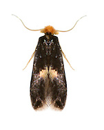 04.082 (0025)<br /> Ectoedemia intimella