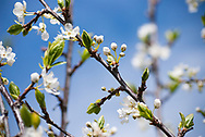 White blossoms cover the boughs and branches of a plum tree in spring.