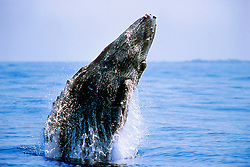 humpback whale calf, breaching with eye openMegaptera novaeangliae, Hawaii, Pacific Ocean