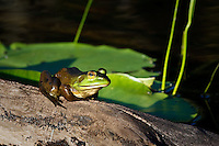 I was paddling on the river when I came across this frog catching some sun on a piece of deadwood.  It remained very still as I floated by and I managed to make some nice images...©2008, Sean Phillips.http://www.Sean-Phillips.com