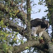 Martial Eagle, (Polemaetus bellicosus) Feeding on prey. Masai Mara Game Reserve. Kenya. Africa.