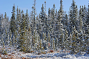Snowfall in boreal forest<br /> Rossport<br /> Ontario<br /> Canada