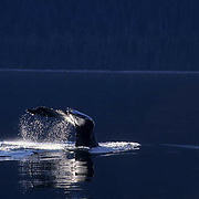Humpback Whale, (Megaptera novaeangliae) Sounding or diving in Southeast waters of Alaska.