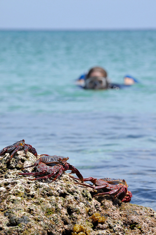 Sally Lightfoot crabs and snorkeler, Sea of Cortez, Baja California, Mexico.
