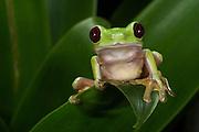 Gliding Leaf Frog (Agalychnis spurrelli)<br /> CAPTIVE<br /> Chocó Region of northwest Ecuador<br /> ECUADOR. South America<br /> Threatened species due to habitat loss.<br /> RANGE: Colombia, Costa Rica, NW Ecuador, Panama,  Tropical and subtropical humid lowlands. 15-750m.<br /> CITES II
