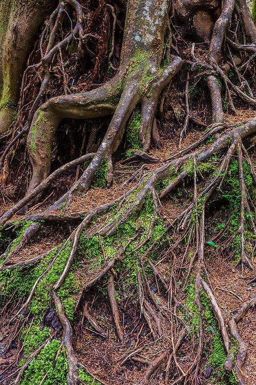 Abstract design, aerial roots of a western hemlock (Tsuga heterophylla), April, Barnes Creek watershed, Olympic National Park, Clallam County, Washington, USA