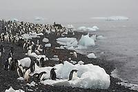 Gentoo Penguin (Pygoscelis papua) and Adelie Penguin (Pygoscelis adeliae) on beach at Brown Bluff, Antarctica.