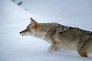 A coyote stalks prey near the Madison River in Yellowstone.