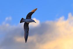 """THEMENBILD - Die Mittelmeermöwe (Larus michahellis) ist eine Vogelart aus der Familie der Möwen (Laridae). Sie brütet in Makaronesien, an der Biskaya, auf der Iberischen Halbinsel, im Mittelmeer- und im Schwarzmeerraum. Zerstreute Vorkommen gibt es auch im nördlichen West- und Mitteleuropa. Die gelbbeinige Großmöwe wurde lange als Unterart der Silbermöwe, später als Unterart der """"Weißkopfmöwe"""" angesehen, die sich dann als paraphyletisches Taxon herausstellte und in Mittelmeer- und Steppenmöwe aufgeteilt wurde. Aufgenommen am 17. Oktober 2015 in Pisa, Italien // The yellow-legged gull (Larus michahellis), sometimes referred to as western yellow-legged gull (to distinguish it from eastern populations of yellow-legged large white-headed gulls), is a large gull of Europe, the Middle East and North Africa, which has only recently achieved wide recognition as a distinct species. It was formerly treated as a subspecies of either the Caspian gull L. cachinnans, or more broadly as a subspecies of the herring gull L. argentatus. It is named after the German zoologist Karl Michahelles. Pictured on 17th October 2015 in Pisa, Italy. EXPA Pictures © 2015, PhotoCredit: EXPA/ Johann Groder"""