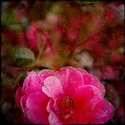 Camelia with water drops and other layers applied