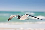Laughing gull, Larus atricilla, in flight along the shoreline at Anna Maria Island, Florida, USA