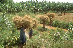 Women harvesting rice; carrying bundles of rice balanced on their heads in Tamil Nadu; India,