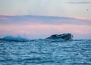 Lunging humpback whale photographed from a kayak, Monterey Bay, California