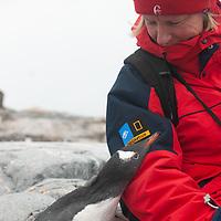 A fearless Gentoo Penguin encounters a tourist on Petermann Island, Antarctica.