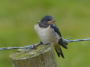 Juvenile Barn swallow, Hirundo rustica, on barbed wire fence in Northumberland, UK