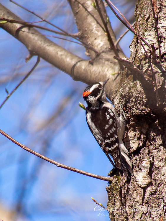 Hairy Woodpecker in the Ravine of Central Park.