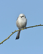 Long-tailed Tit, northern race - Aegithalos caudatus caudatus