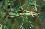 Spur Legged Stick Insects, Didymuria violescens, Australia, pair mating