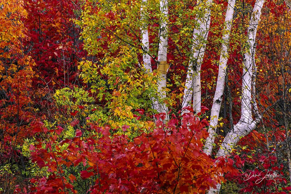 Red maple (Acer rubrum) Autumn foliage surrounding multi-stem birch, Greater Sudbury, Ontario, Canada