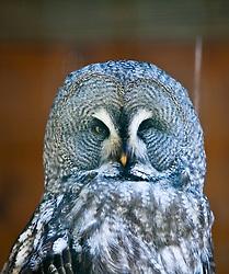 23.04.2011, Wildpark Ferleiten, AUT, Wildpark Ferleiten, im Bild ein Bartkauz mit Blick in die Kamera, er zwinkert // a great gray owl with a view of the camera, he winks, EXPA Pictures © 2011, PhotoCredit: EXPA/ J. Feichter