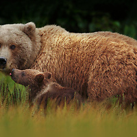 A tender moment between grizzly bear mother and her cub-of-the-year in Lake Clark National Park Alaska. I had spent several days observing this mother and her cub from a distance before they felt comfortable with my presence and moved closer for me to take image.  Even at that, I was still 75 yards from them requiring the reach of a 1000mm lens to get the shot.