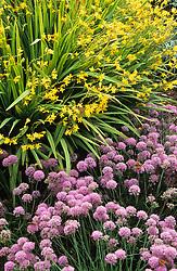 Allium senescens subsp. montanum var. glaucum with Crocosmia 'Citronella' syn Crocosmia 'Golden Fleece'