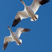 Snow goose (Anser caerulescens) pair in flight. Bosque del Apache National Wildlife Refuge, New Mexico