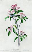 Cuvier's regulus (Regulus cuvierii) Male. on a Broad-leaved kalmia or laurel. Kalmia latifolia. By Audubon, John James, 1785-1851 engraved by Havell, Robert, 1793-1878