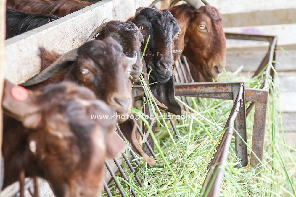 Goats eat hay in a dairy farm pen
