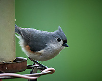 Tufted Titmouse. Image taken with a Nikon D5 camera and 600 mm f/4 VR lens (ISO 800, 600 mm, f/5.6, 1/1250 sec)