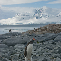 A Gentoo Penguin calls to its chick near Damoy Point on Wiencke Island, Antarctica. Behind is the Neumayer Channel and mountains on Anvers Island.