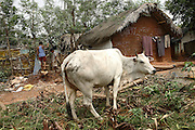 A cow is photographed in the Salia Sahi slum (pop. 30.000) of Bhubaneswar, the capital of Orissa State, on Friday, May 16, 2008. On May 1, 2006. **Italy and China Out**