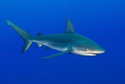 Galapagos Shark, Carcharhinus galapagensis, cruises in mid-water near Roca Partida, San Benedicto, Revillagigedos, Mexico, Pacific Ocean