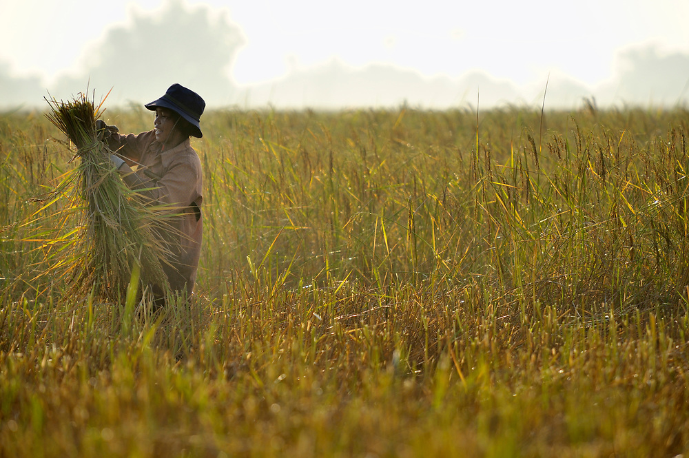 A woman works in a rice field early in the morning in Khnach, a village in the Kampot region of Cambodia.