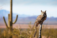 A Great Horned Owl (Bubo virginianus) sits perched in the Sonoran Desert, Arizona.