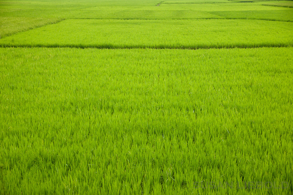 A rice field in rural Bangladesh.