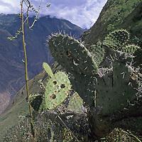 A cactus grows high on the walls of the Rio Apurimac Canyon in the Cordillera Vilcabamba, Peru.