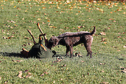 Purdy the Hungarian Visla and Sasha the Lagotto Romagnolo play in the park